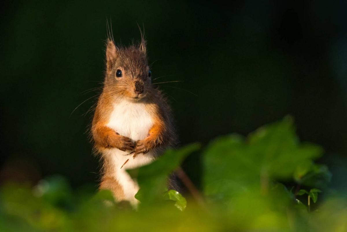 award winning photograph red squirrel by chris martin