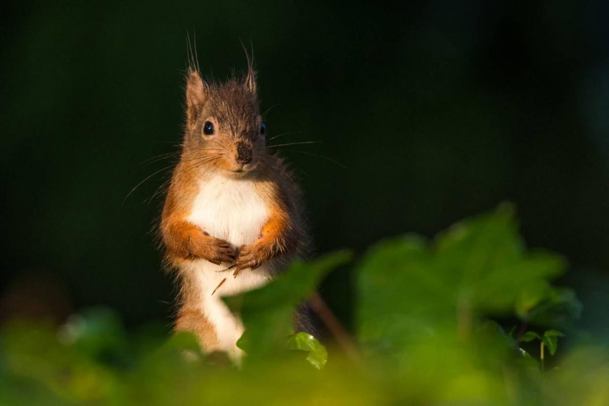 readers photography competition red squirrel by chris martin